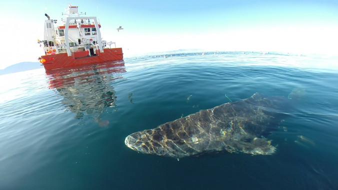 El tiburón de Groenlandia, nuevo récord de longevidad entre los vertebrados (Vea VIDEO)