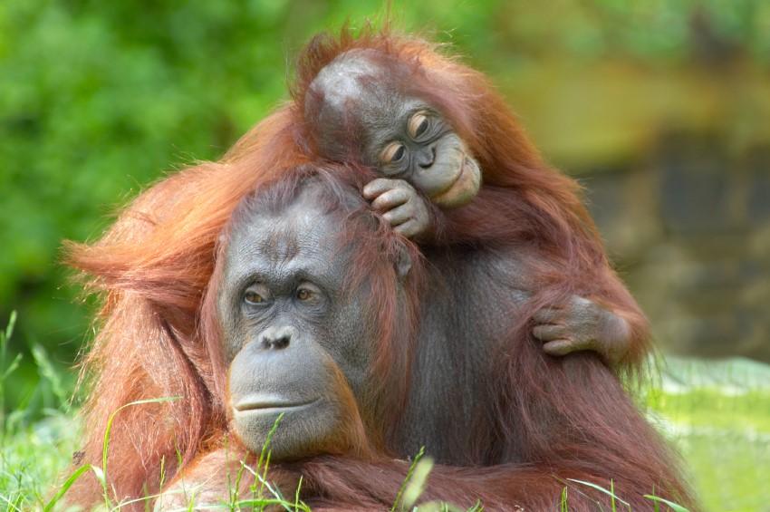 Los orangutanes de borneo se extinguirán en 10 años