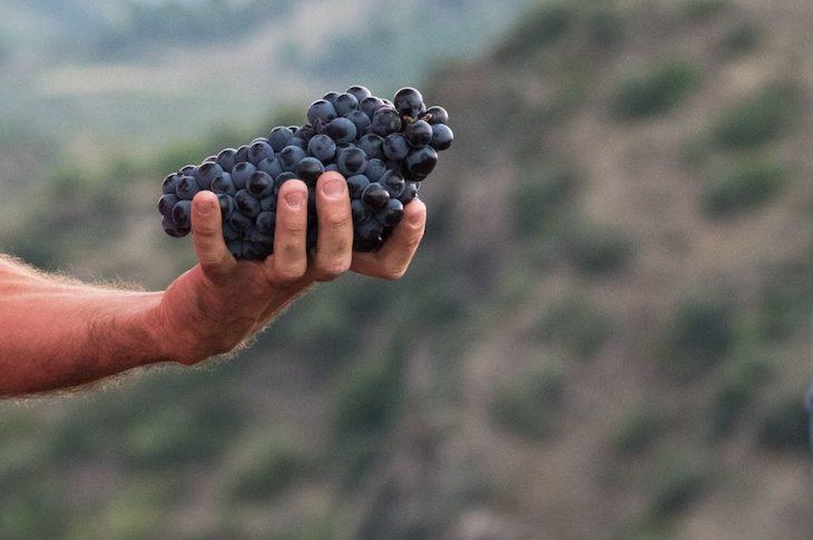¿La uva Garnacha 'ama' la sequía?