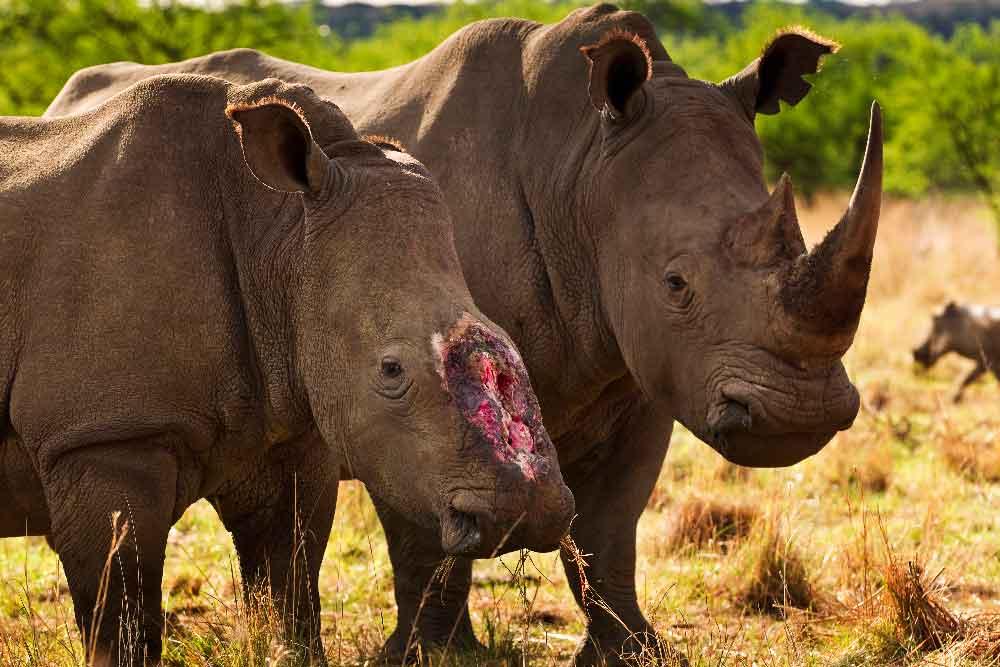 En el Día Mundial de Rinoceronte, lamentamos la muerte de más de 1.200 rinocerontes cada año por furtivos
