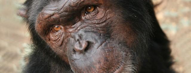 Alerta ante la posible desaparición inminente de una de las cuatro subespecies de chimpancés.