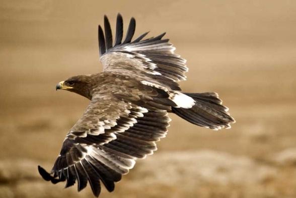 Andalucía mejora el hábitat del lince, águila imperial y milano