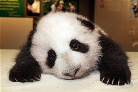 Las crías de oso panda del Zoo de Madrid se trasladan a una 'cuna'