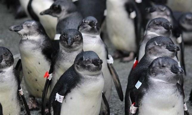 Los pingüinos africanos alimentos en lugares equivocados debido a la pesca y al cambio climático
