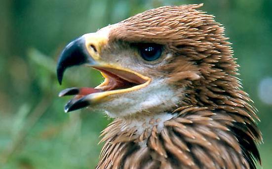 Alarmante noticia para el águila imperial ibérica