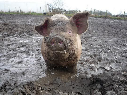 A la industria porcina le llega su San Martín