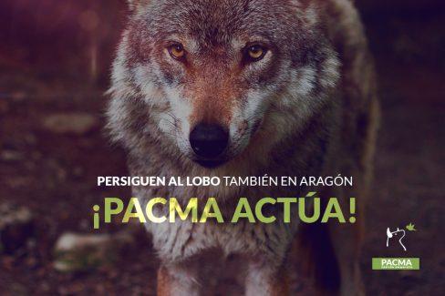 Están persiguiendo al lobo también en Aragón