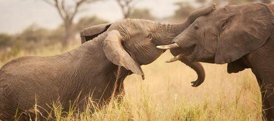 Defiende los elefantes de Tanzania