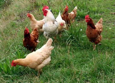 Las gallinas también sufren por sus polluelos