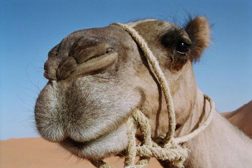 Incluyen al Camello Canario en el Catálogo Oficial de Razas de Ganado de España