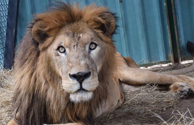 Costa Rica. Ahora quieren matar al león Kivu