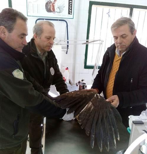 El CREA de Jaén intenta recuperar un ejemplar de águila real electrocutado