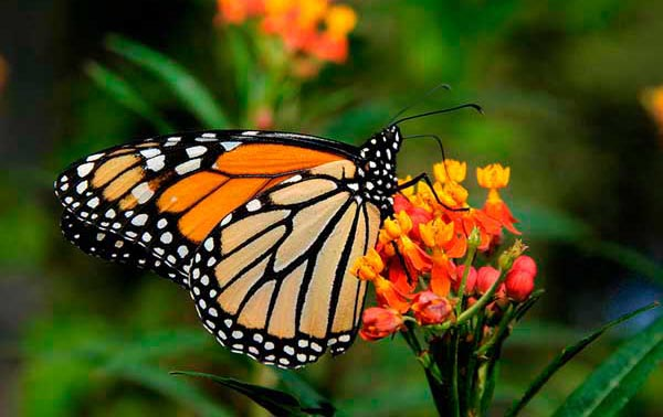 Las fuertes tormentas en México amenazan el hábitat de la mariposa monarca