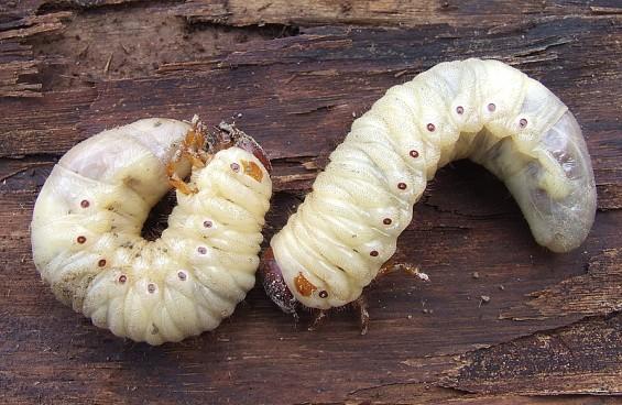 Larvas de escarabajo se alimentan de sus depredadores