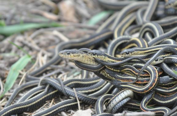Serpientes obsesionadas con el sexo