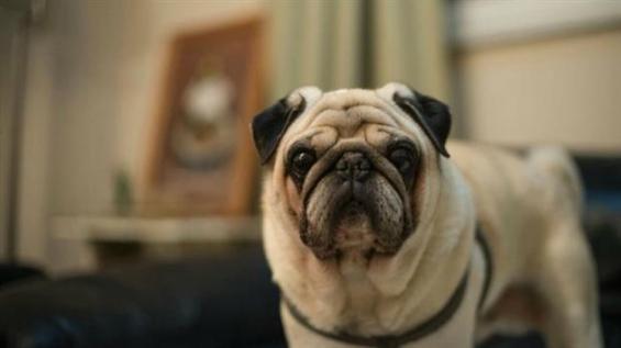 Biólogas argentinas crearon un test contra las enfermedades hereditarias de los perros