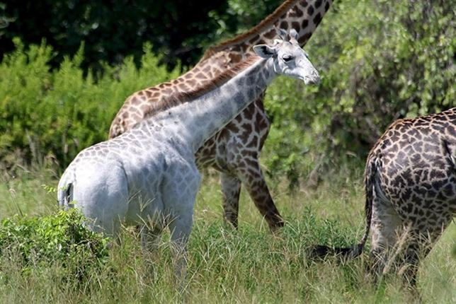 Conoce a la jirafa blanca