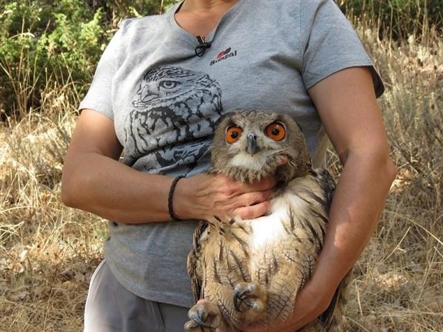 Zoo Aquarium y el centro de recuperación de aves Brinzal liberan un ejemplar de búho real en Miraflores de la Sierra