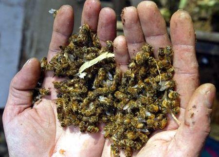 ¿Porque mueren las abejas?