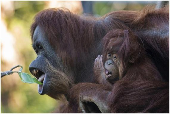 Evolución del habla humana: ¿la clave está en los grandes simios?