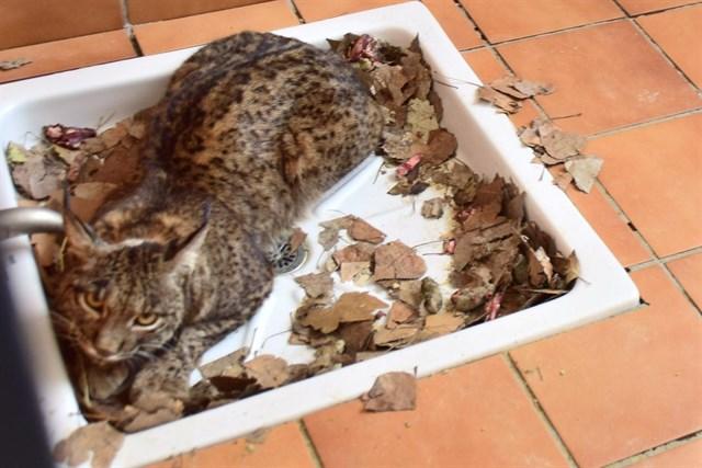 El Centro de Recuperación de Especies Amenazadas de Pinos Genil (Granada) acoge un ejemplar de lince ibérico