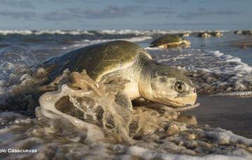 México. Siguen las arribazones de tortugas a playas mexicanas