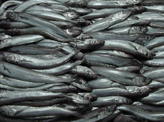 El 46% de los límites de capturas pesqueras están por encima de las recomendaciones científicas