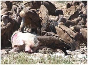 Un medicamento para ganado doméstico, retirado en Asia por causar la muerte de los buitres, disponible en España