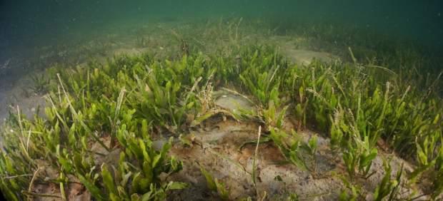 Científicos del IEO investigan el estado actual y posible recuperación de las praderas marinas del Mar Menor