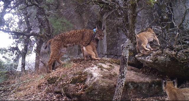 Localizan en los Montes de Toledo una camada de linces de una hembra liberada en Extremadura