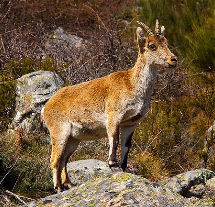 Un total de 150.000 cabras 'limpiarán' los montes para prevenir fuegos