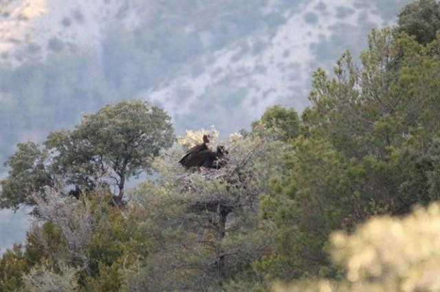 La colonia de buitre negro pirenaica llega a los 14 nidos tras un siglo desaparecida