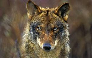 WWF demanda al presidente asturiano que le remita las autorizaciones y el calendario de las batidas indiscriminadas de lobos