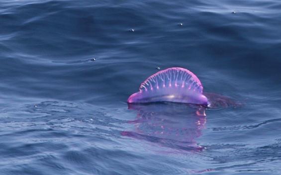 Estados Unidos. Medusas venenosas vuelven a las playas de Nueva Jersey