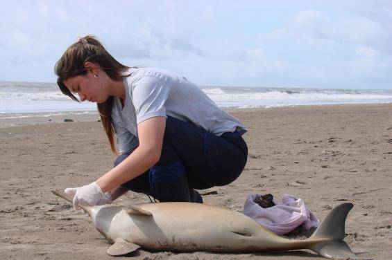Argentina: Hallan delfines sin vida en las playas de la costa bonaerense