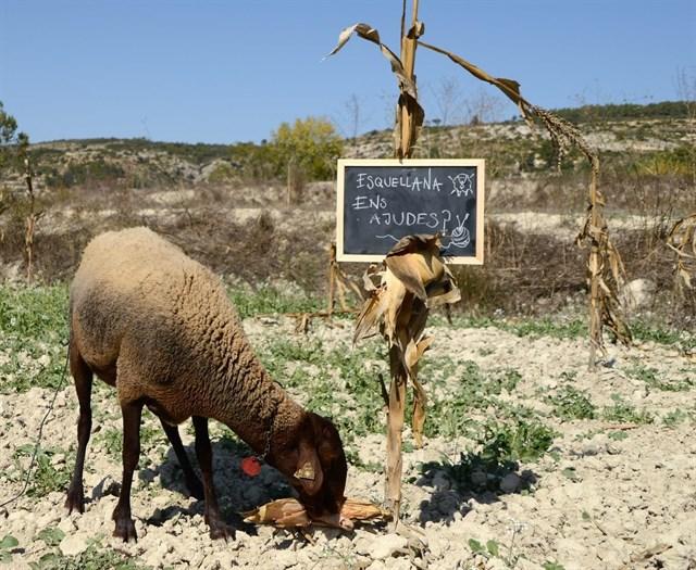 Crowdfunding para recuperar la producción de lana valenciana con la única oveja autóctona