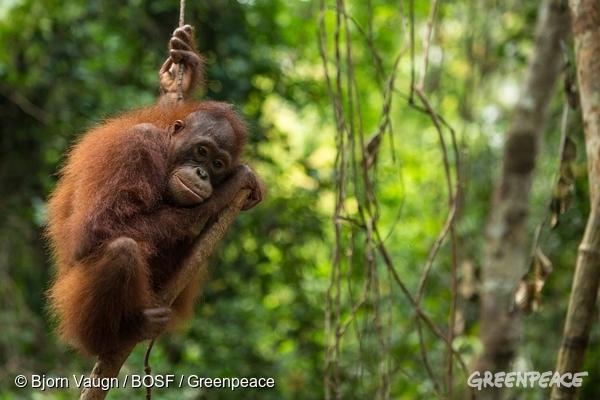 Los orangutanes están en peligro