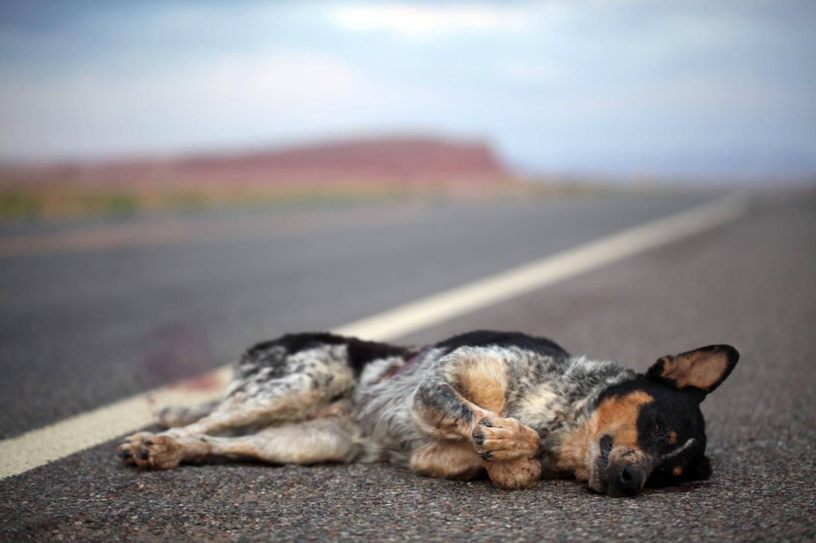 Animales atropellados en Madrid: de la carretera al olvido