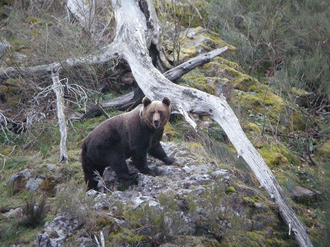 Cazar osos es España es 'demencial'