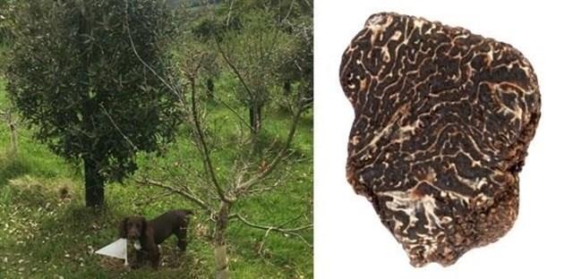 El cultivo de trufa negra mediterránea se consigue en Reino Unido