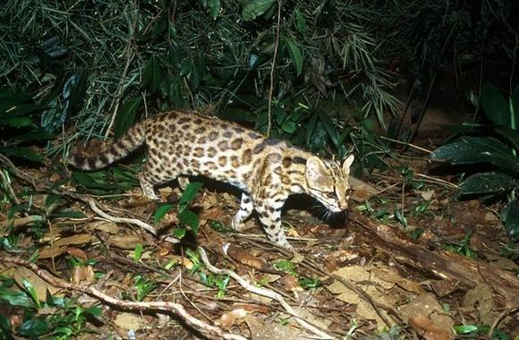 Hallazgo de una desconocida y enigmática especie de tigrillo salvaje en Brasil