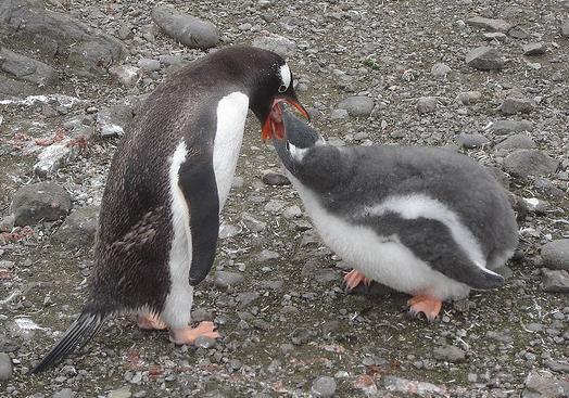 ¿Cómo aprendió a nadar el pingüino?