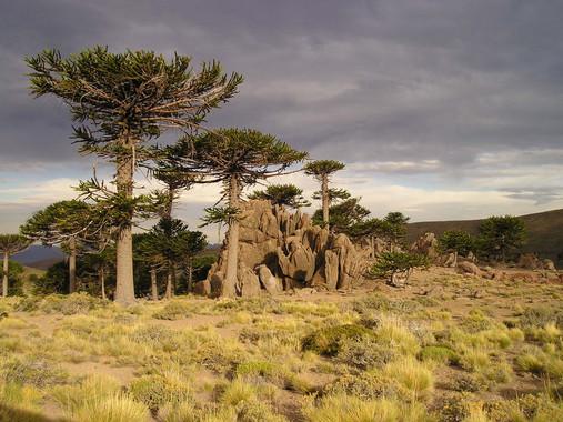 El calentamiento global podría acabar con los bosques de araucaria
