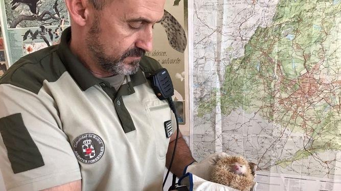 Agentes Forestales hallan en Guadarrama un erizo de una especie prohibida en España, el pigmeo africano
