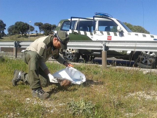 Trasladan al GREFA a un cernícalo muerto encontrado en una carretera en Boadilla del Monte