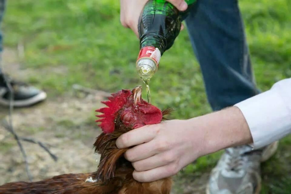 Los jóvenes celebran emborrachándo y decapitando gallos su mayoría de edad en Muro (Mallorca)