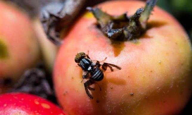 En una mosca de América del Norte hallan cambios masivos en el ...