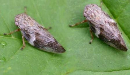 La Comisión Europea aprueba el protocolo de contención para la Xylella fastidiosa en Baleares