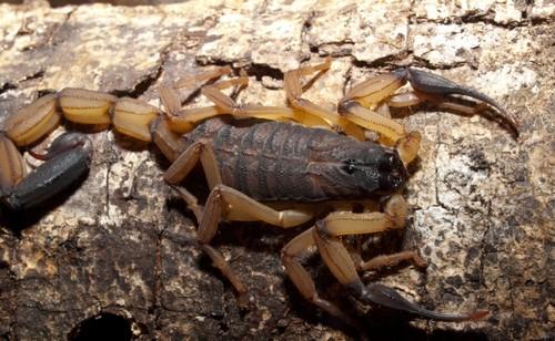 Costa Rica. Los escorpiones del país no matan a los humanos