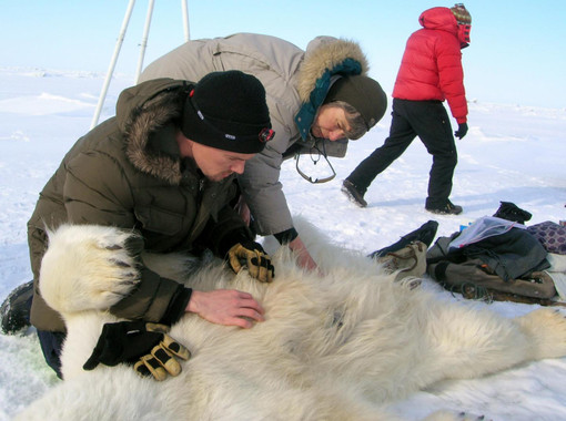 Los osos polares 'sufren' el deshielo del verano